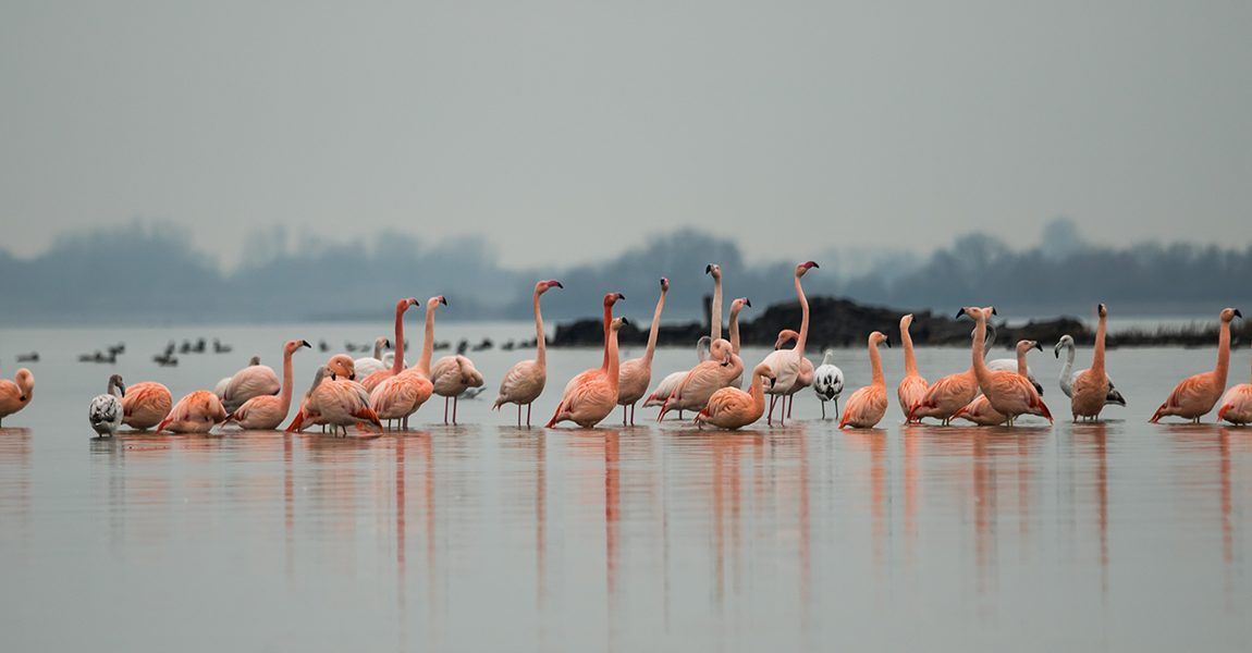 Flakkeese flamingo's gaan viral