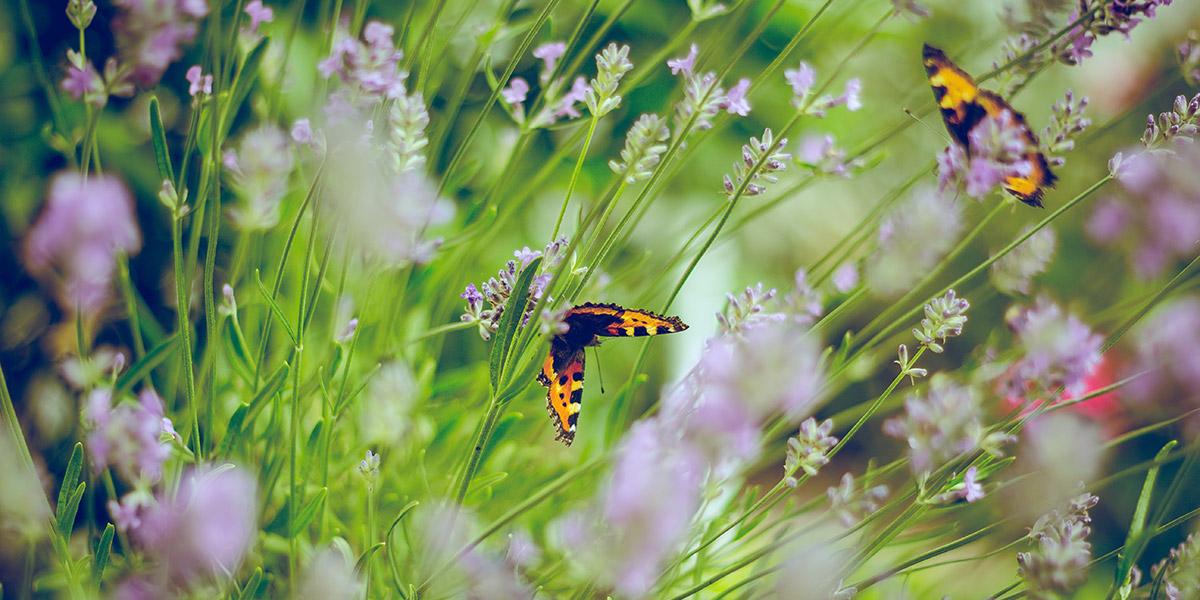 1000 m2 duurzaam bloemenmengsel in Ouddorp voor vlinders en bijen